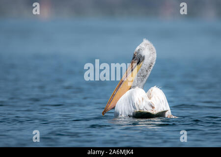 Dalmatian pelican - Pelecanus crispus. The most massive member of the pelican family, and perhaps the world's largest freshwater bird. - Stock Photo