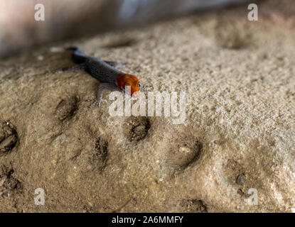 A Yellow-headed Gecko on a Rock in Costa Rica - Stock Photo