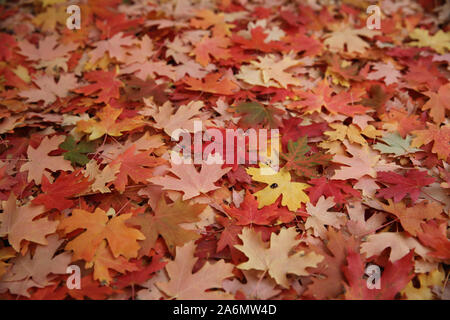 Maple leaves covering the ground under the tree - Stock Photo