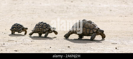 Leopard tortoises walking in a line from big to small in the Kalahari desert. South Africa. Stigmochelys pardalis - Stock Photo