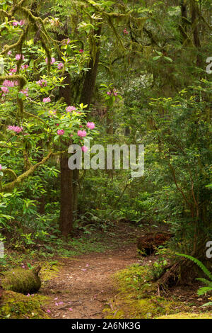 CA03797-00...CALIFORNIA - Native rhododendrons blooming among the redwood trees along the Hiochi Trail in Jedediah Smith Redwoods State Park.