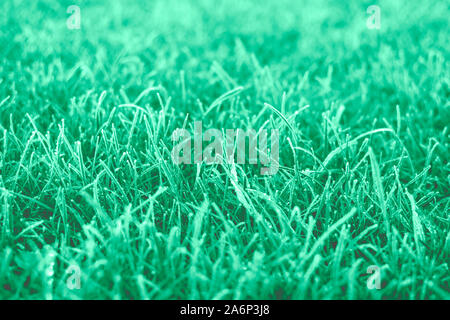 First frosts on green mint grass with beautifully falling light from the sun, late autumn. Natural background. - Stock Photo
