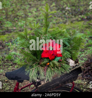 Red poinsettia Blossom in a arrangement of spruce in a wine box on a bicycle rack - Stock Photo