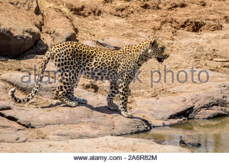 Male African Leopard (Panthera pardus pardus) standing by a waterhole in the Pilanseberg National Park, South Africa. Side view - Stock Photo