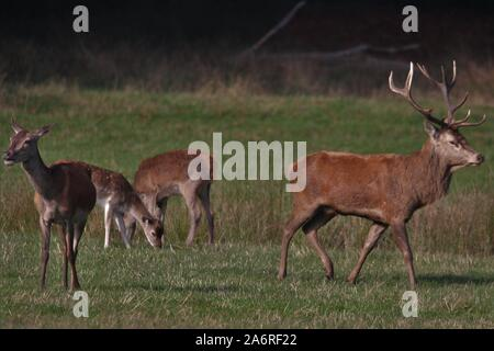 Red Deer (Cervus elaphus) at Dülmen, Germany - Stock Photo