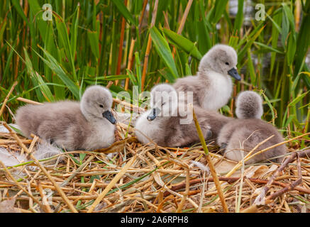 Four baby mute swan cygnets chicks signets, Cygnus olor, on nest at Grand Canal, Dublin, Ireland. Fluffy birds with soft down. Green reed background - Stock Photo