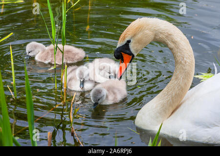 Mute swan chicks cygnets and mother, Cygnus olor, swimming in water at Grand Canal, Dublin, Ireland. Four baby swans with soft down in water - Stock Photo