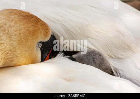 Swan chick cygnet wrapped up and hidden under mother's white feathers wing. Dublin, Ireland. Mute swans, Cygnus olor, pen with baby signet Grand Canal - Stock Photo