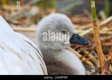 Mute swan cygnet chick signet, Cygnus olor, leans against mother pen, on nest at Grand Canal, Dublin, Ireland. Fluffy cute baby swan with soft down - Stock Photo