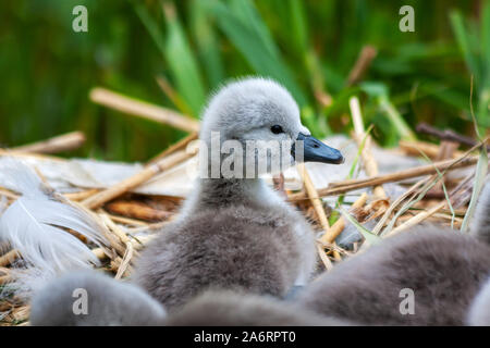 Mute swan cygnet signet chick, Cygnus olor, on nest at Grand Canal, Dublin, Ireland. Small baby swan with green reeds in background - Stock Photo