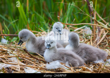 Four baby mute swan cygnets signets chicks, Cygnus olor, on nest at Grand Canal, Dublin, Ireland. Fluffy young birds with green reeds in background - Stock Photo