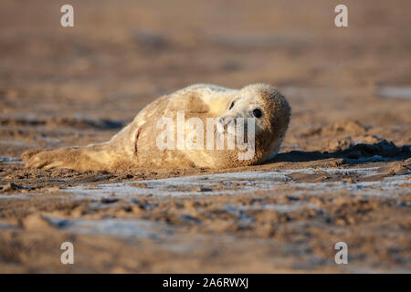 Atlantic Grey seal pup Halichoerus grypus with characteristic fluffy white fur covered with beach sand at Donna Nook in Lincolnshire, England. - Stock Photo