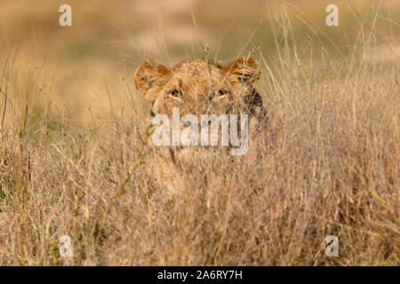 Lioness (Panthera leo) stalking prey, Sabi Sands, Greater Kruger National Park, South Africa - Stock Photo