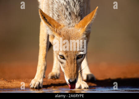 Black-backed Jackal (Canis mesomelas) drinking, head shot, Karongwe Game Reserve, Limpopo, South Africa - Stock Photo
