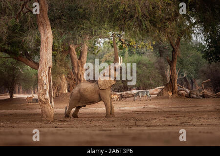 African Bush Elephant - Loxodonta africana in Mana Pools National Park in Zimbabwe, standing in the green forest and eating or looking for leaves.