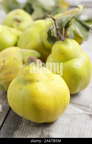 Cydonia oblonga 'Vranja'. Aromatic quince fruits on a kitchen table for making jelly. Autumn. UK - Stock Photo
