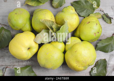 Cydonia oblonga 'Vranja' Nenadovic. Quince fruits mellowing on a wooden table in autumn. UK - Stock Photo