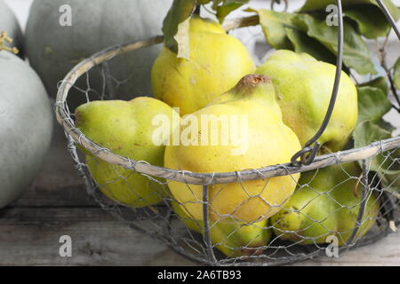 Cydonia oblonga 'Vranja'. Quince fruits in a wire basket for making jelly. UK - Stock Photo