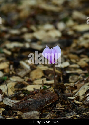 Pretty pink Cyclamen flower in amongst background of wood chippings - Stock Photo