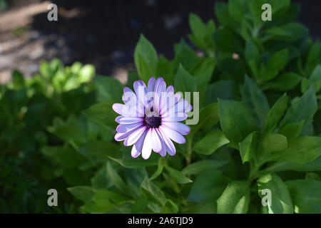 Single white Osteospermum with purple / pink edges and middle, in a bed of leaves - Stock Photo