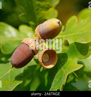 Fruits of the pedunculate oak, Quercus robur L., in autumn - Stock Photo