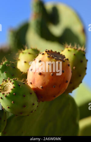 Close-up of colored fruits of the prickly pear cactus, upright in front of blue sky - Stock Photo