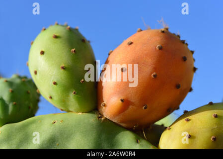 Closeup of colored ripe fruits of cactus of prickly pear in landscape format in front of blue sky - Stock Photo