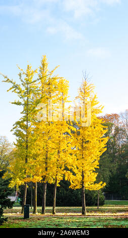 Yellow autumn tree is standing in park in the beautiful morning light, Fall background image - Stock Photo