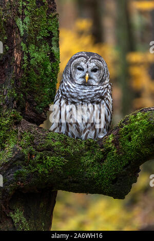 Barred Owl (Strix varia) sitting on tree, Autumn, E North America, by James D Coppinger/Dembinsky Photo Assoc - Stock Photo