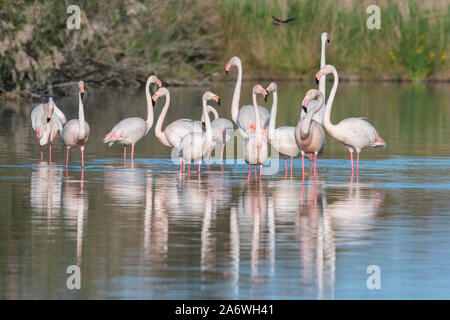 Greater flamingos (Phoenicopterus roseus), Camargue, France, early May, by Dominique Braud/Dembinsky Photo Assoc - Stock Photo