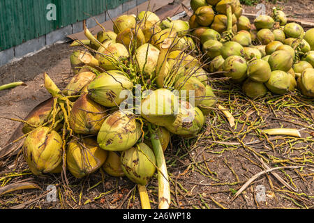 Ko Samui Island, Thailand - March 18, 2019: Harvesting coconuts. Green yellowish clusters of freshly harvested coconut clusters lying on brown dirt. - Stock Photo