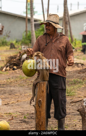 Ko Samui Island, Thailand - March 18, 2019: Harvesting coconuts. Proud Master with his pigtailed macaque after the monkey harvested plenty of coconuts - Stock Photo
