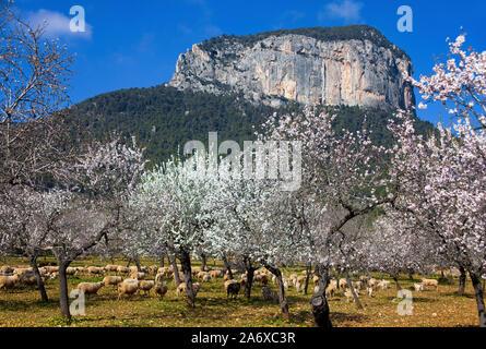 Prosperous Almond trees (Prunus dulcis) at Alaro, almond blossom, Serra de Tramuntana, Mallorca, Balearics, Baleraric island, Spain - Stock Photo