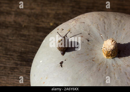 A grey green ornamental gourd with a little  snail crawling across the top in the sunshine with its shadow, on a wooden surface. - Stock Photo