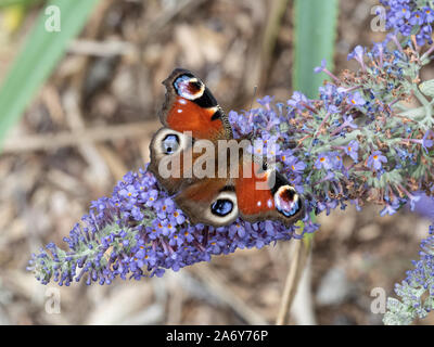 A close up of a peacock butterfly wings open feeding on a Buddleia flower - Stock Photo