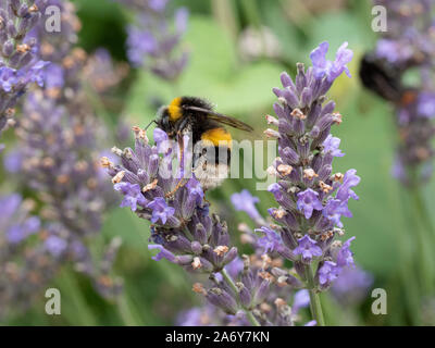 A close up of a white tailed bumble bee feeding on a lavender spike - Stock Photo