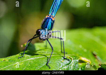Head On, Portrait Detail of a Male Beautiful Damselfly, also Known as Demoiselle Agrion (Calopteryx virgo) Resting on a Leaf Beside the River Torridge - Stock Photo