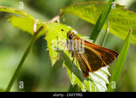Male Large Skipper Butterfly (Ochlodes sylvanus) Resting on a Leaf in Bright Summer Sun. - Stock Photo