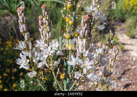 Asphodelus albus, white asphodel Plant in Flower - Stock Photo