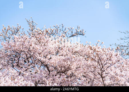 Cherry blossom (sakura) with birds under the blue sky in the Shinjuku Gyo-en Park in Tokyo of Japan. A good place for vocation in spring. - Stock Photo