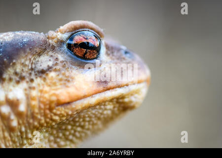 Macro Portrait of female Common Iberian toad Bufo spinosus or Bufo bufo on the ground between vegetation. - Stock Photo
