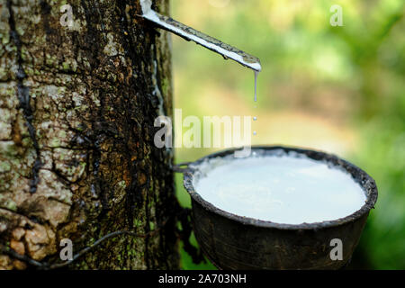 Fresh milky Latex flows into a plastic bowl in from para rubber tree Hevea Brasiliensis - Stock Photo