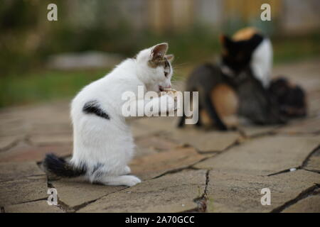 Spotted white kitten sits in the garden in a funny pose, cat eats fat comically. - Stock Photo