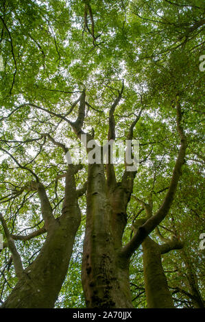 Looking up at the treetops of old beeches along the South Downs Way near Winchester in Hampshire, England. - Stock Photo