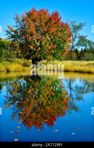 A image of a maple tree with its leaves turning the colors of fall reflecting in a blue pond of still water in rural New Brunswick Canada. - Stock Photo