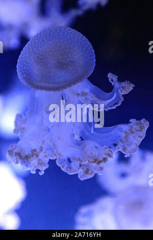 Phyllorhiza punctata is a species of jellyfish, also known as the floating bell, Australian spotted jellyfish, brown jellyfish or the white-spotted jellyfish. It is native to the western Pacific from Australia to Japan, but has been introduced widely elsewhere. It feeds primarily on zooplankton. - Stock Photo
