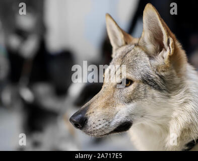 Dog,  portrait of a wolf - Stock Photo