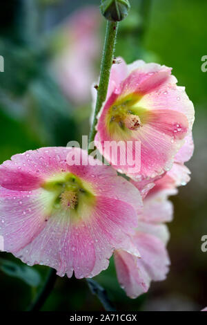 Alcea rosea, hollyhock, pink,flower,flowers,flowering,cottage garden, perennial,RM Floral - Stock Photo