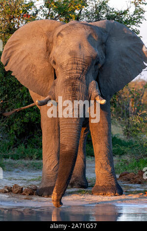 Late afternoom sunlight on a large African Bull Elephant (Loxodonta africana) at a waterhole in the Savuti region of Botswana, Africa. - Stock Photo