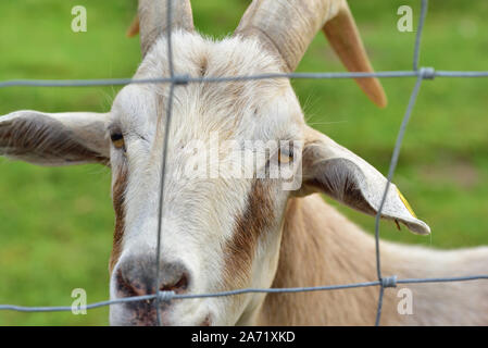 A white goat with horns looks through a wire grid against green background in a pasture - Stock Photo